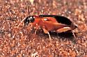Beetle - Lebia analis