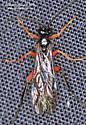 Ichneumonidae ?