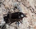 2095 Scarab Beetle - Euphoria verticalis