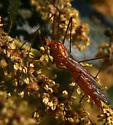 Crane Fly - Nephrotoma