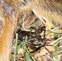 Scavenger  - Velarifictorus micado - male