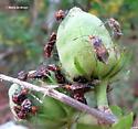 Scentless plant bug - Niesthrea louisianica