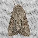 Distinct Quaker - Hodges#10518 - Achatia distincta