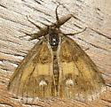 small brown moth - Orgyia - male