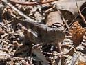 Sulphur-winged Grasshopper (Arphia sulphurea)? - Spharagemon bolli