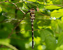 Dragonfly - possible river cruiser? - Macromia - female