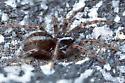Hahniid spider