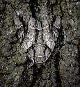 Grey/brown adult moth on Oak bark, perhaps some sort of Acronicta - Catocala vidua