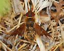 Orange County Bee Fly Archives: Is this Rhynchanthrax? - Rhynchanthrax