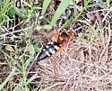 Cicada killer? - Sphecius speciosus