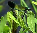 River Jewelwing? - Calopteryx aequabilis - male - female