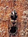 Beetle - Bembidion