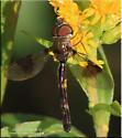 Fly sp - Ocyptamus fascipennis