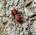 What Species? - Castianeira amoena