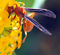 Which paper wasp is this? - Polistes