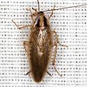 Asian Cockroach - Blattella asahinai