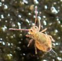 Globular Springtail - Dicyrtomina minuta