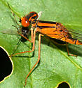 orange bluet eating fly - Enallagma signatum - male