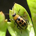 Spotted leaf beetle? - Cerotoma trifurcata