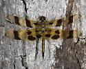 Celithemis eponina / Halloween Pennant - Celithemis eponina - male