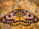 Elegant Sheep Moth - Hemileuca eglanterina - female