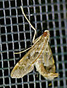 Texas SE Gulf Coast - Duponchelia fovealis