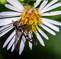 Fly - Dioprosopa clavata