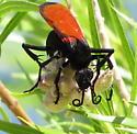 Pepsini - Hemipepsis ustulata? - Hemipepsis ustulata - female