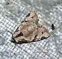 Vapour light - Stibaera thyatiroides