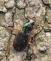 Vivid Metallic Ground Beetle - Chlaenius sp? - Chlaenius pusillus