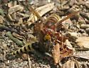 European hornet vs. Robber fly - Vespa crabro - female