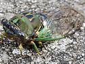 Dying cicada on the sidewalk. Neotibicen pruinosis or tibicen?