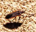 Unknown Beetle - Melacoryphus lateralis
