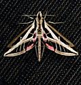 Very pretty moth found in my yard dont know what it is. - Eumorpha fasciatus