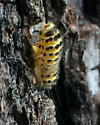 Yellow and Black Caterpillar - Harrisina americana