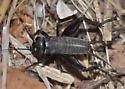 Wingless black cricket - Gryllus vocalis