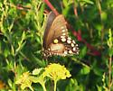 Pipevine Swallowtail (missing tails) - Battus philenor - female
