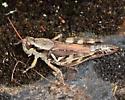 Huckleberry Grasshopper - Melanoplus fasciatus - female