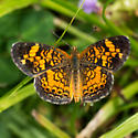 Northern Crescent or Pearl Crescent? - Phyciodes tharos - male
