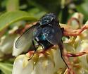 Blue Bottle Fly - Calliphora