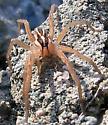 Wolf Spider - Rabidosa - female