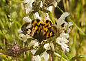 pretty moth, same but dorsal view - Drasteria adumbrata