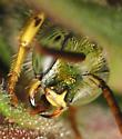 closeup of head - Agapostemon virescens - male