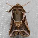 Moth - Habrosyne scripta