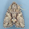10317  - Hadena capsularis