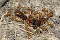 Ants - Lasius latipes