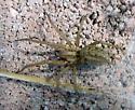 Tegenaria 01b - Eratigena agrestis - female