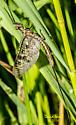 Ephemeroptera - Ephemera simulans