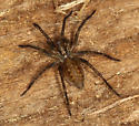 juvenile hobo spider - Eratigena agrestis