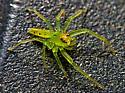 ID please - Lyssomanes viridis